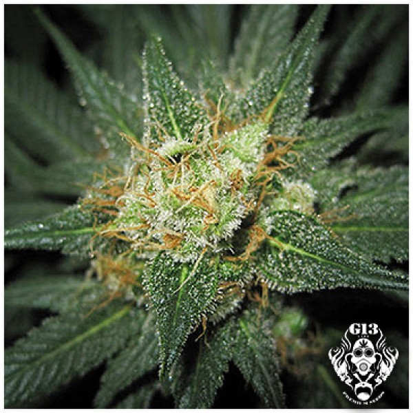 MIDNIGHT KUSH - 5 seeds - G13 Labs