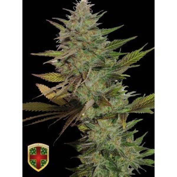 MR. CANDY - 3 UNDS. FEM - ALL IN MEDICINAL - Root Catalog - Tous les Produits