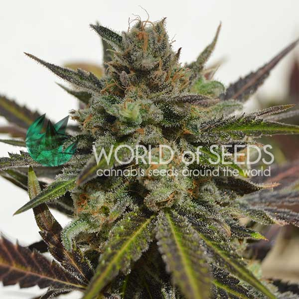 Northern Light x Skunk - WORLDOFSEEDS - MEDICAL COLLECTION