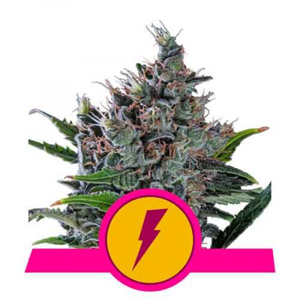North Thunderfuck - ROYAL-QUEEN SEEDS