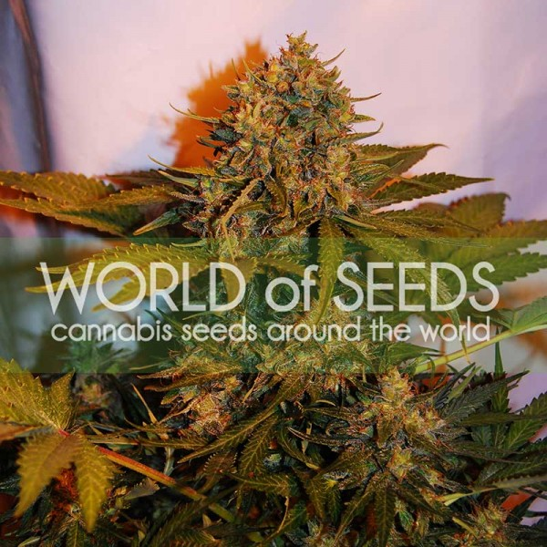 NORTHERN LIGHT X BIG BUD RYDER - WORLDOFSEEDS - GRAINES AUTOFLEURRISSANTES