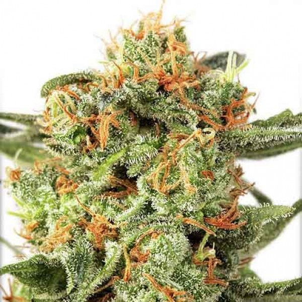 Orange Hill Special Regular - 10 Seeds - DUTCH PASSION