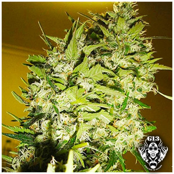 PINEAPPLE EXPRESS - 5 seeds - G13 Labs