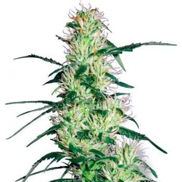 PURPLE HAZE FEM (WHITE LABEL) - SENSI SEEDS