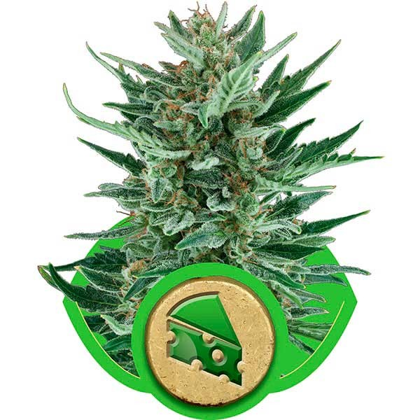 Royal Cheese Automatic - ROYAL-QUEEN SEEDS