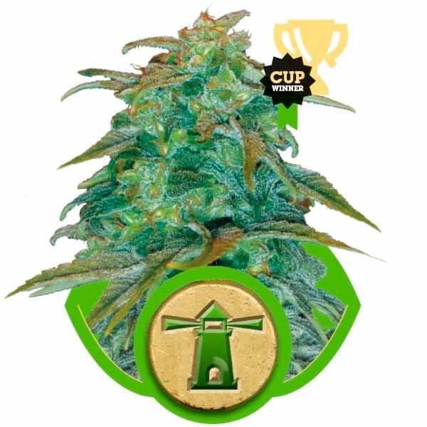 ROYAL HAZE AUTOMATIC - ROYAL-QUEEN SEEDS