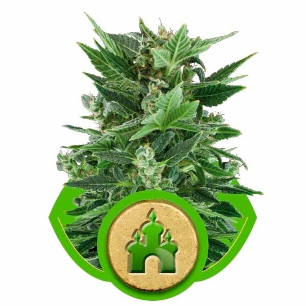 ROYAL KUSH AUTOMATIC - ROYAL-QUEEN SEEDS