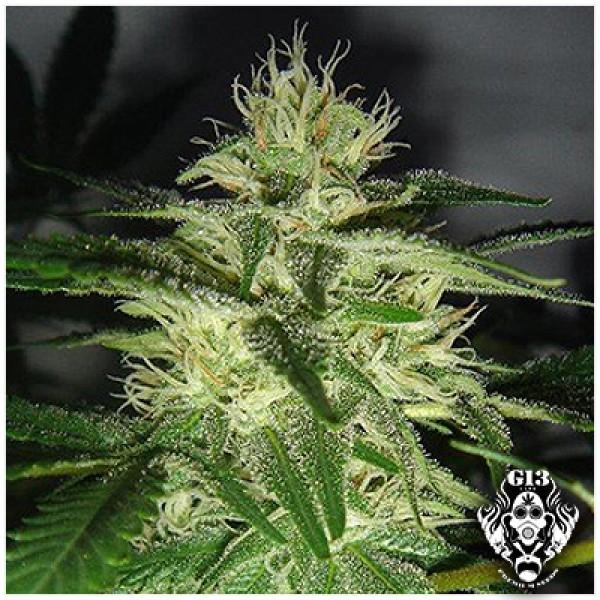 SKUNK #1 - 5 seeds - G13 Labs