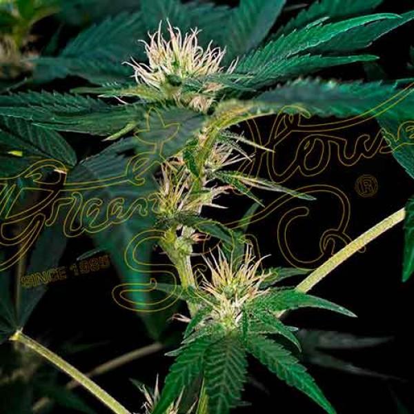 Super Lemon Haze x Purple Punch x Dosidos - 10 seeds - GREENHOUSE