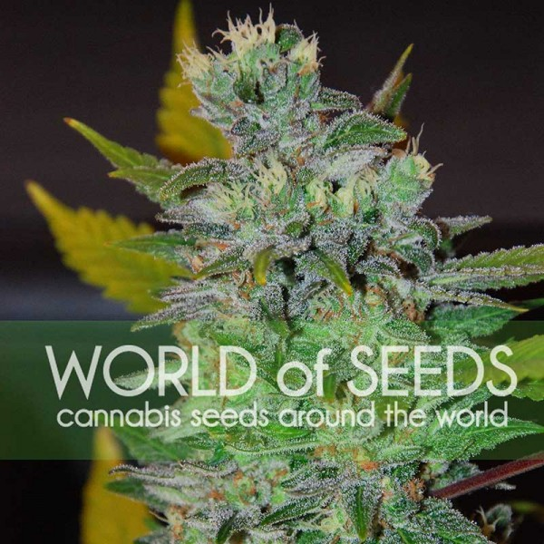 Space - WORLDOFSEEDS - LEGEND COLLECTION