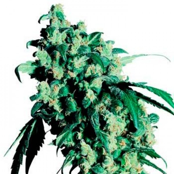 SUPER SKUNK (SENSI SEEDS) - SENSI SEEDS