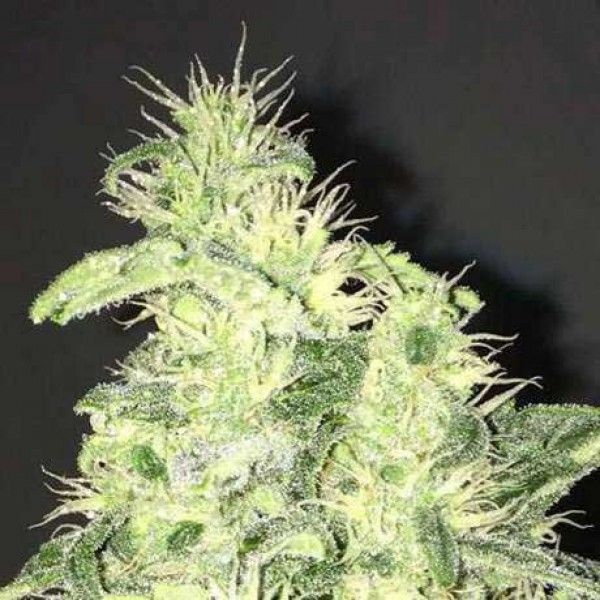 Supreme CBD Kush 5 Seeds - NIRVANA