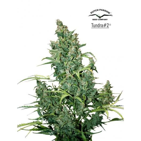 TUNDRA  #2 - 7 seeds - Root Catalog - Tous les Produits