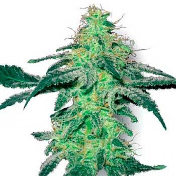 WHITE SKUNK FEM (WHITE LABEL) - SENSI SEEDS