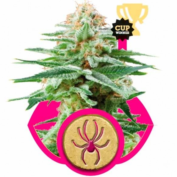 WHITE WIDOW - ROYAL-QUEEN SEEDS