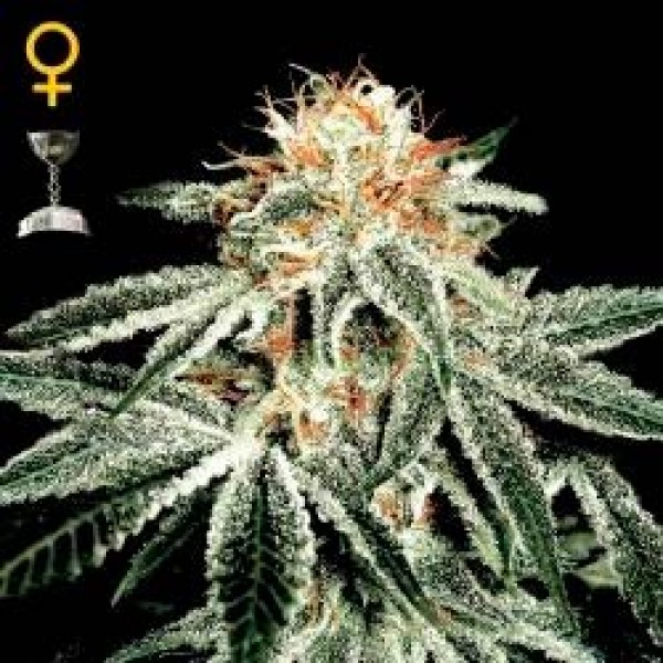 WHITE WIDOW - GREENHOUSE