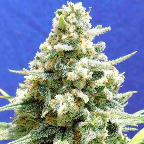 AMNESIA LEMON KUSH - The Original Sensible