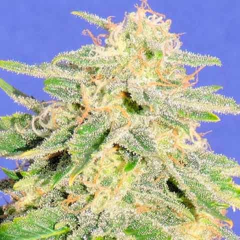 AUTO JACK HERER - The Original Sensible