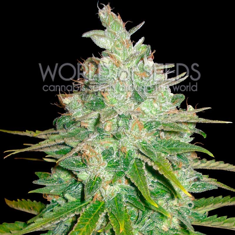 Afghan Kush x Black Domina - MEDICAL COLLECTION - WORLDOFSEEDS