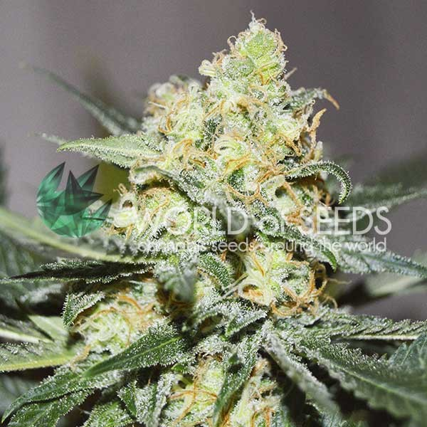 Afghan Kush x Skunk - MEDICAL COLLECTION - WORLDOFSEEDS