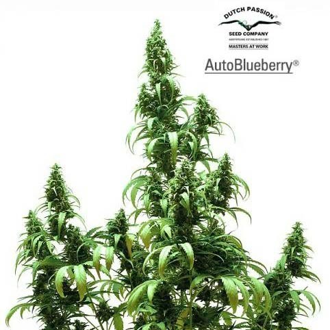 AUTO BLUEBERRY - AUTOFLOWERING - DUTCH PASSION