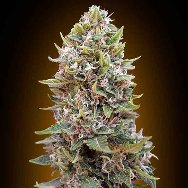 Auto Chesse Berry - 5 seeds - 00 Seeds
