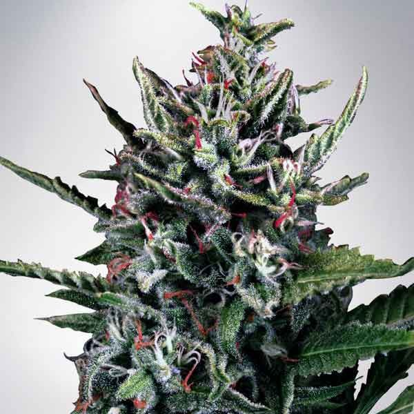 Auto Silver Bullet - MINISTRY OF CANNABIS