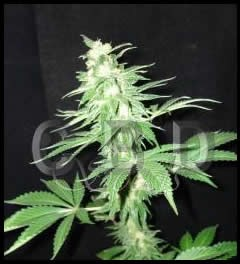 Auto white 3 graines - CBD SEEDS