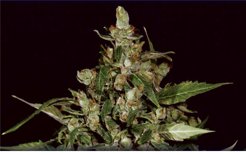 AUTO WIDOW 6 UNIDS (CBD SEEDS)