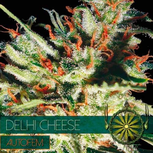 DELHI CHEESE AUTO - VISION SEEDS