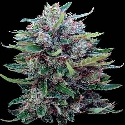 Bangui Haze –  - Ace Seeds