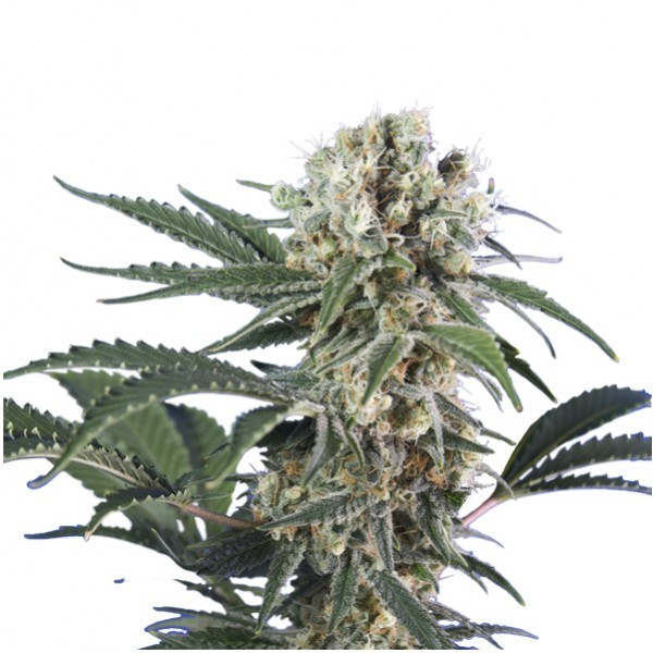 WONDER BLACK DOMINA 5 UND. FEM (HERO SEEDS)
