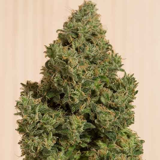 Blue Dream CBD - FEMINIZED - HUMBOLDT SEEDS