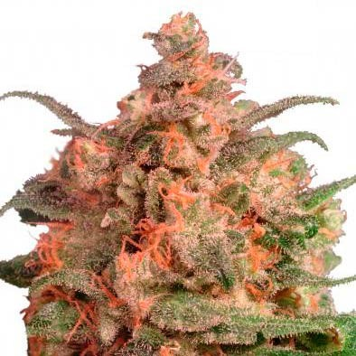 Brainstorm - FEMINIZADA - DUTCH PASSION