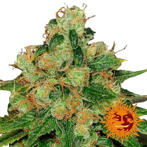 CBD CARAMEL REGULAR - 10 seeds - BARNEY'S FARM