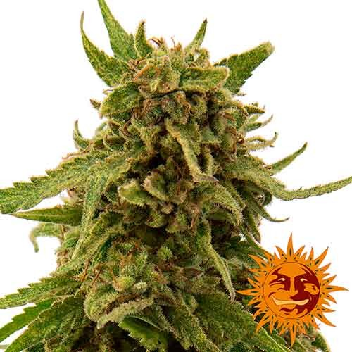 CBD CRITICAL CURE - Feminized - BARNEY'S FARM
