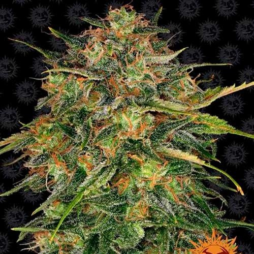 CHEESE - Feminized - BARNEY'S FARM