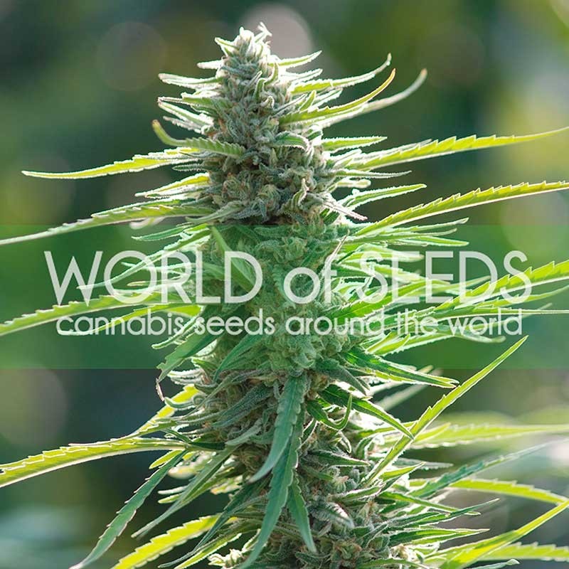 Colombian Gold - PURE ORIGIN COLLECTION - WORLDOFSEEDS
