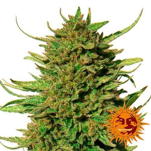 CRITICAL KUSH REGULAR - 10 seeds