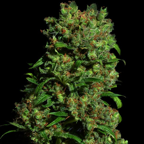 CRITICAL VIP 5 Seeds (VIP SEEDS) - Outlet