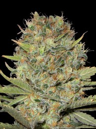 DUBBLE GUM - 10 UND FEM (PROFESSIONAL SEEDS)