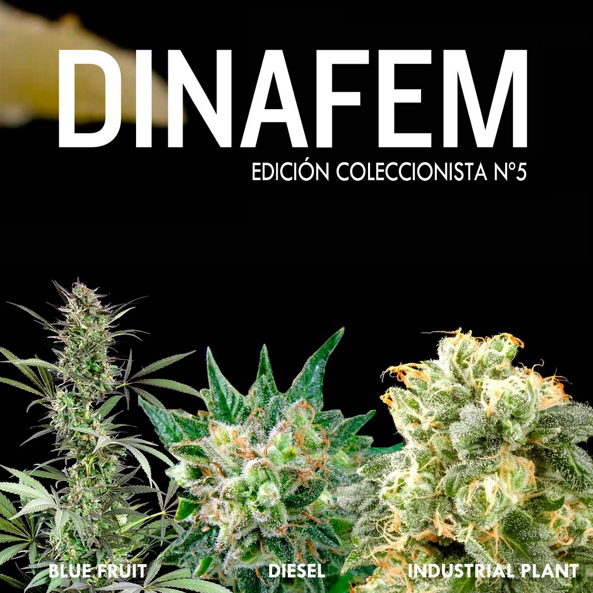 Dinafem collector # 5 6 graines