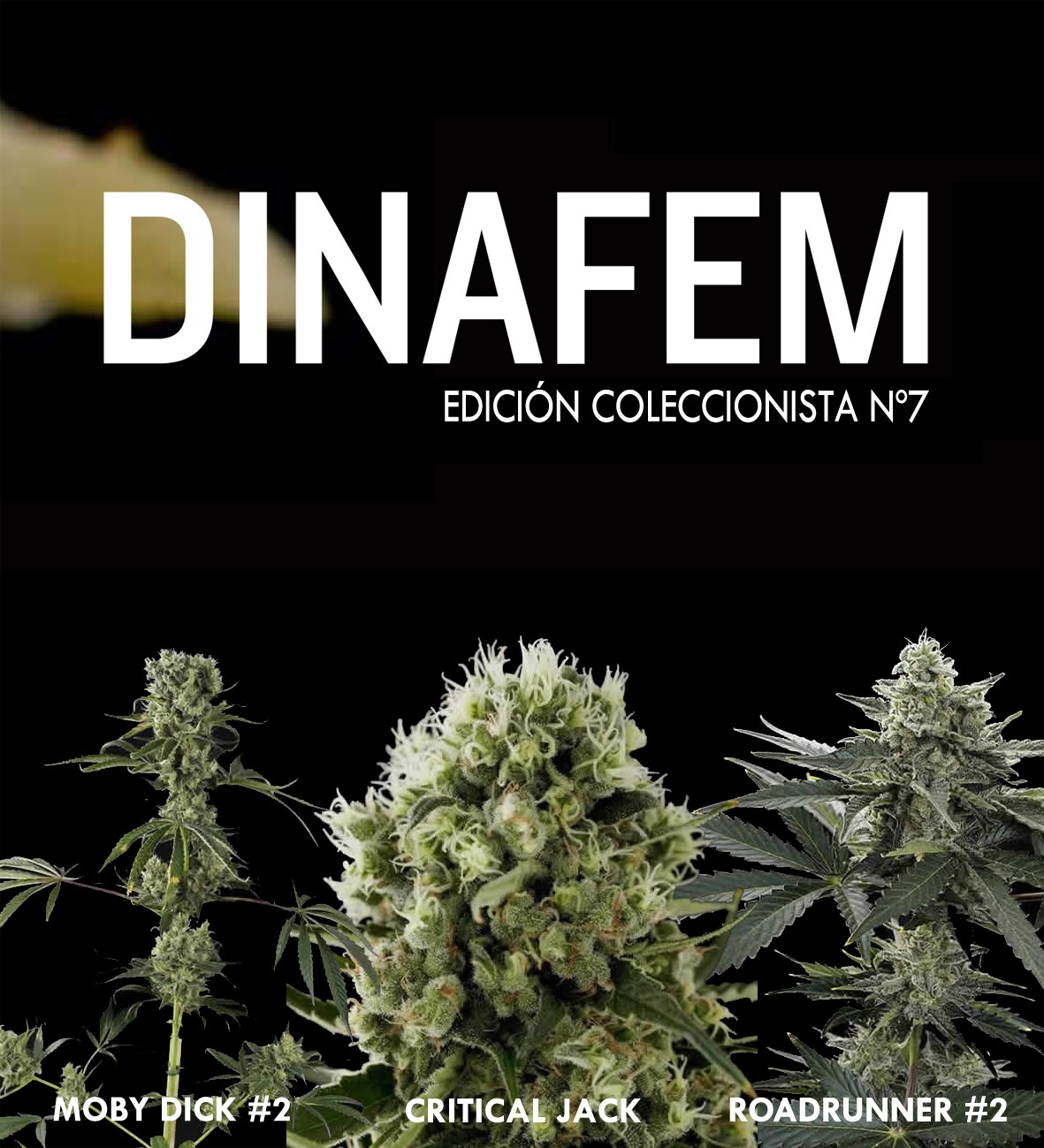 Dinafem collector # 7 6 graines