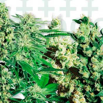 FEMINIZED MIX (SENSI SEEDS) - Feminized - SENSI SEEDS