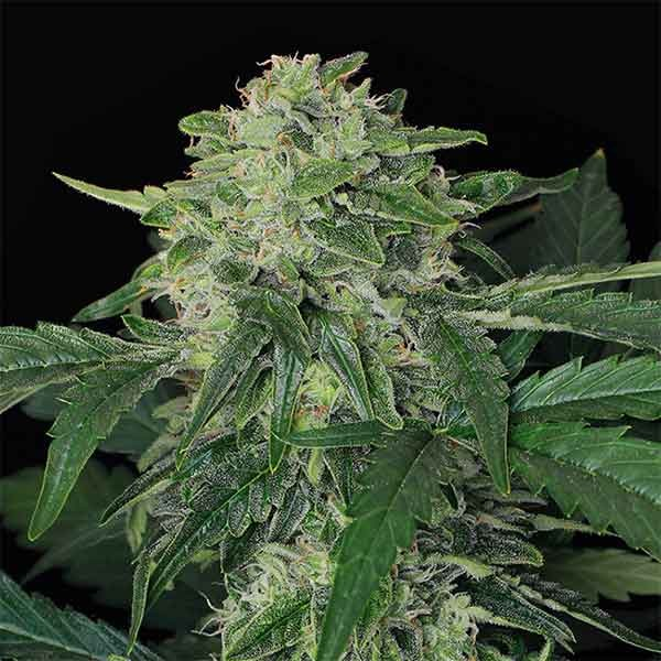 JUNGLE FEVER AUTO - Exotic Seed