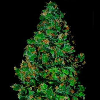 MEMBRANA HIPER AUTO 3 Seeds (VIP SEEDS) - Outlet