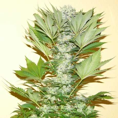 Misty Kush Fem 5 Seeds