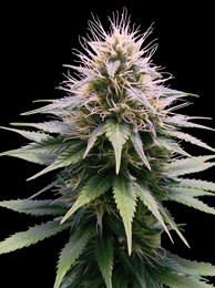 NEW YORK DIESEL AUTO - 3 UND (PROFESSIONAL) - Feminized - PROFESSIONAL SEEDS
