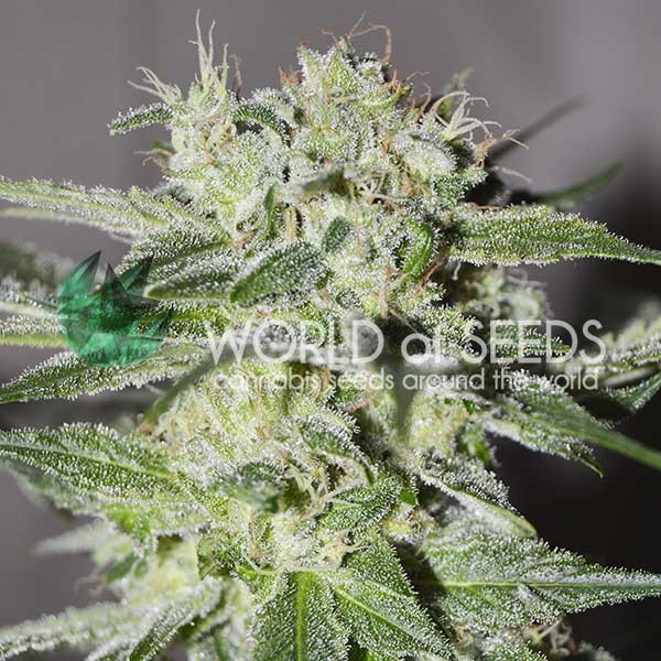 Pakistan Valley Regular - 10 Graines - PURE ORIGIN GRAINES NORMAL - WORLDOFSEEDS
