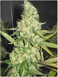 PURE POWER PLANT - 3 UNIDS (PROFESSIONAL) - Feminized - PROFESSIONAL SEEDS